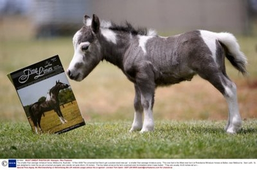 Tiny-Horse-Amazing-Animal-Facts