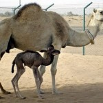 Inzaz: World's First Cloned Camel Born in Dubai