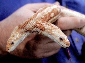 amazing-two-headed-albino-snake