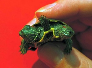 amazing-two-headed-turtle